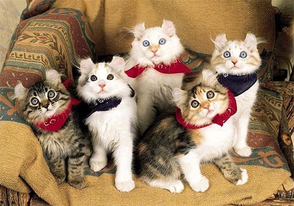 Ушки котят отличаются крайним непостоянством