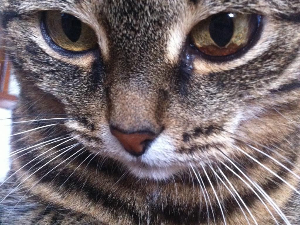 У кошек старше пяти лет могут наблюдаться дегенеративные процессы, влияющие на глаза