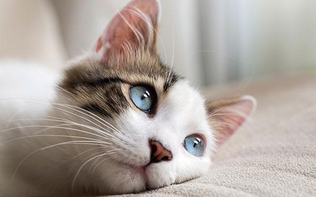 У кошек явление кетоза встречается чаще