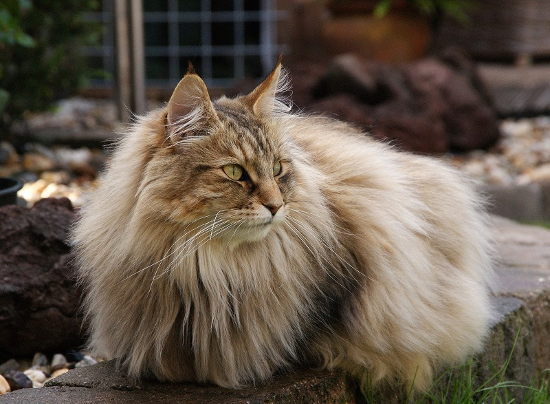 У норвежских кошек добрый характер и хорошие манеры