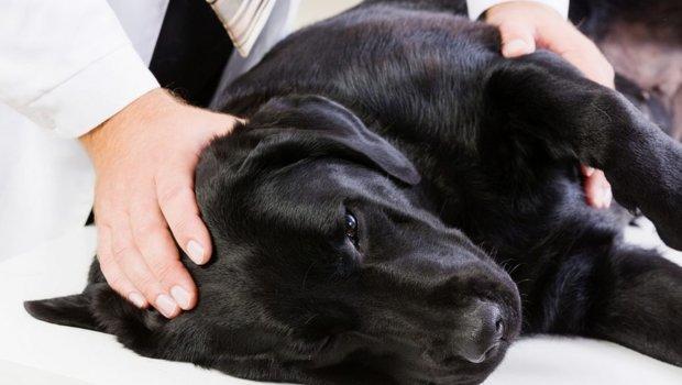 Фиксация собаки в комфортном положении поможет избежать травм при конвульсиях