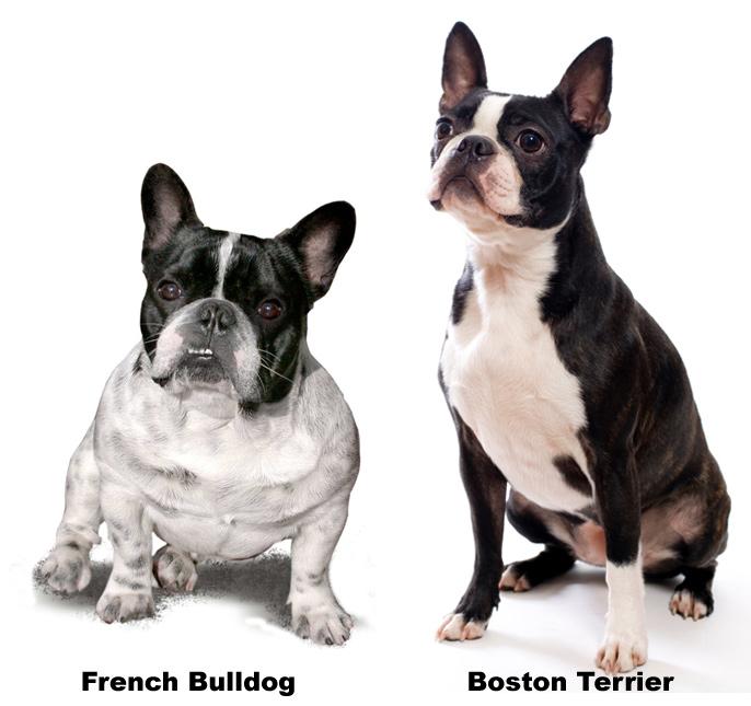 Французский бульдог и бостон-терьер