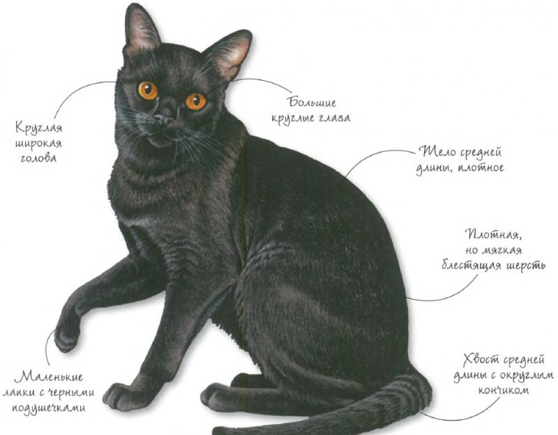 Характеристики бомбейской кошки