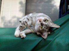 Характерное поведение кошки в течке