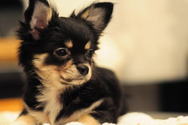 Худоба щенка является признаком возможного заражения паразитами