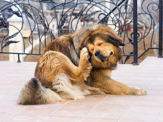 Частое почесывание собакой лапкой ушей - признак заболеваний ушей