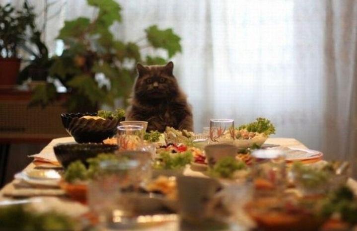 Часто желание присоединиться к застолью у кота отсутствует - хозяева просто неверно интерпретируют его посыл