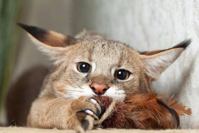 Чаузи - одна из самых дорогих кошек мира