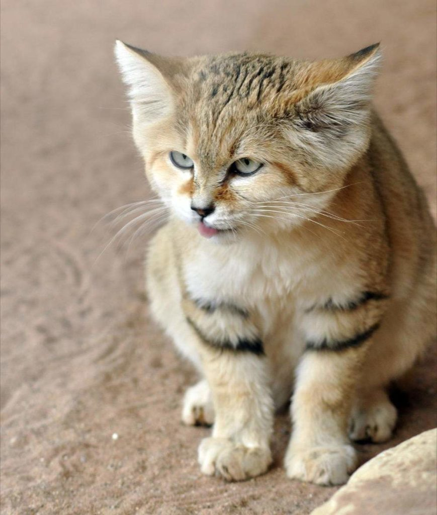 Человечество достаточно поздно осознало, что песчаный кот нуждается в защите