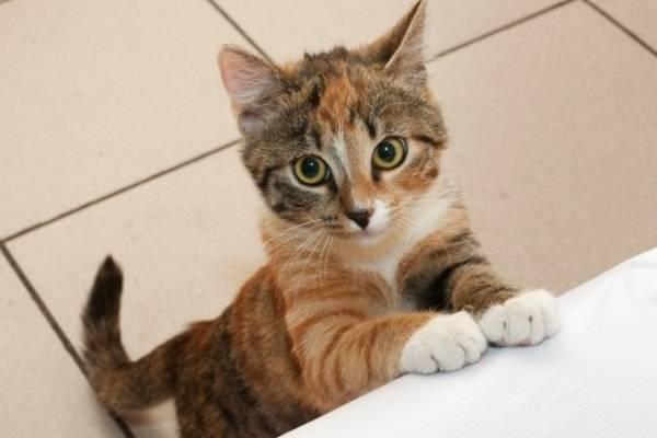 Чем быстрее хозяин обнаружит у кота заболевание, тем выше вероятность его спасти