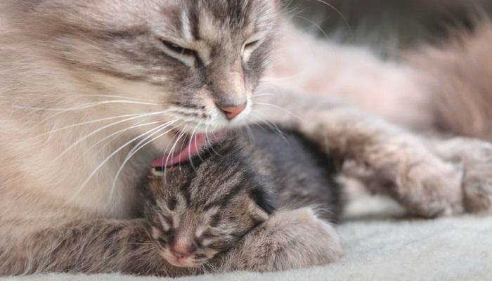 Через вылизывание и котенок, и кошка вновь обмениваются паразитами