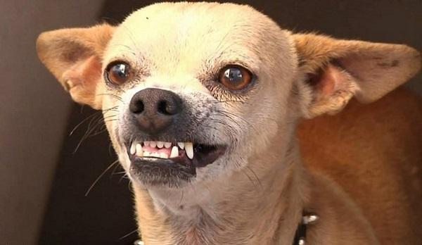 Чрезмерно частые дрессировки могут вызвать агрессию у пса и переутомление у хозяина