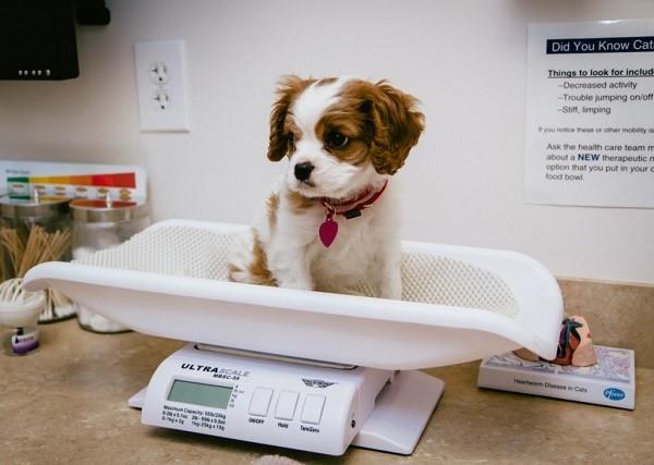 Чтобы понять, сколько собаке нужно дать таблеток, необходимо знать ее вес, хотя бы приблизительный