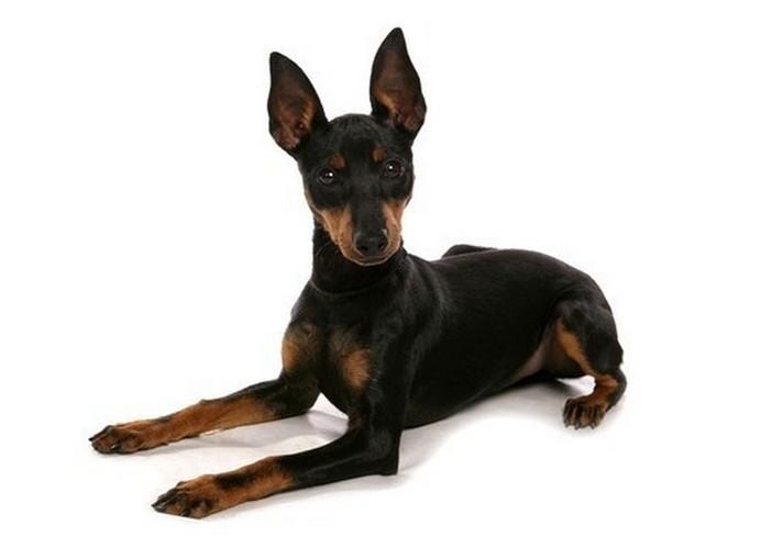 Чтобы уши собаки были здоровыми, за ними нужно регулярно ухаживать