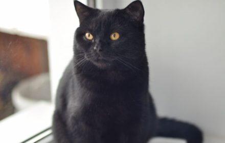 Чёрный британский кот-подросток