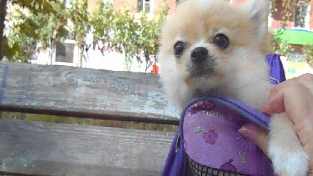 Шпицы - та порода собак, которую можно и нужно временами носить с собой и показывать мир