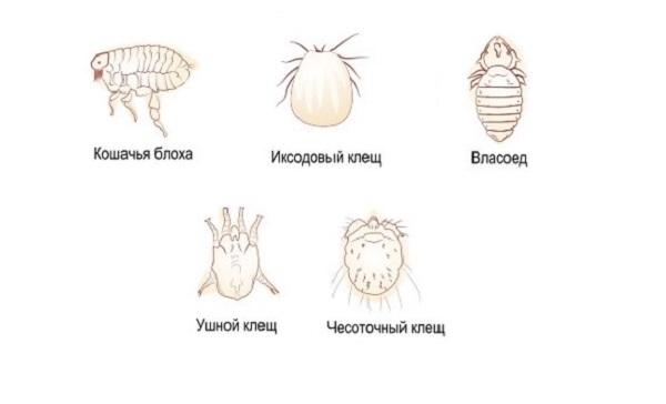 Что такое эктопаразиты