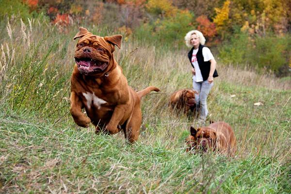Эти собаки очень преданные, всегда готовы встать на защиту хозяина