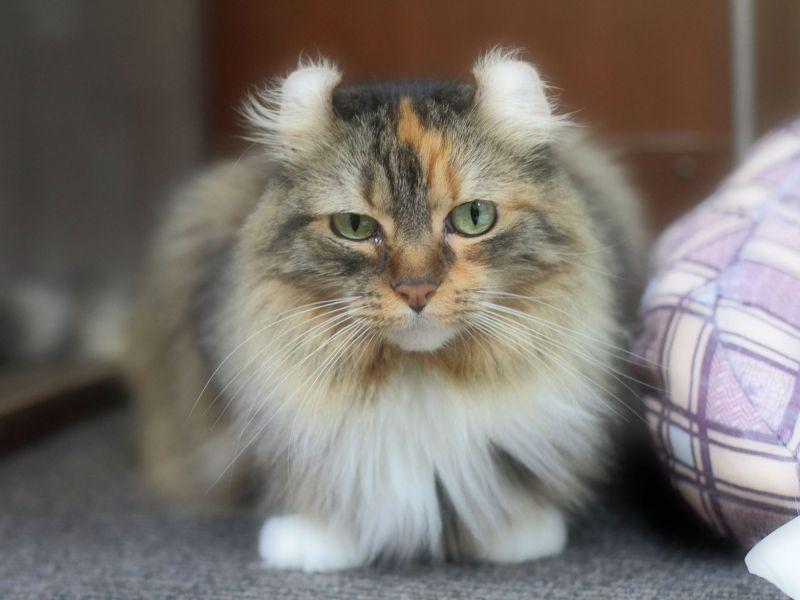 Чип для кошек позволяет владельцу защититься от их кражи или подмены