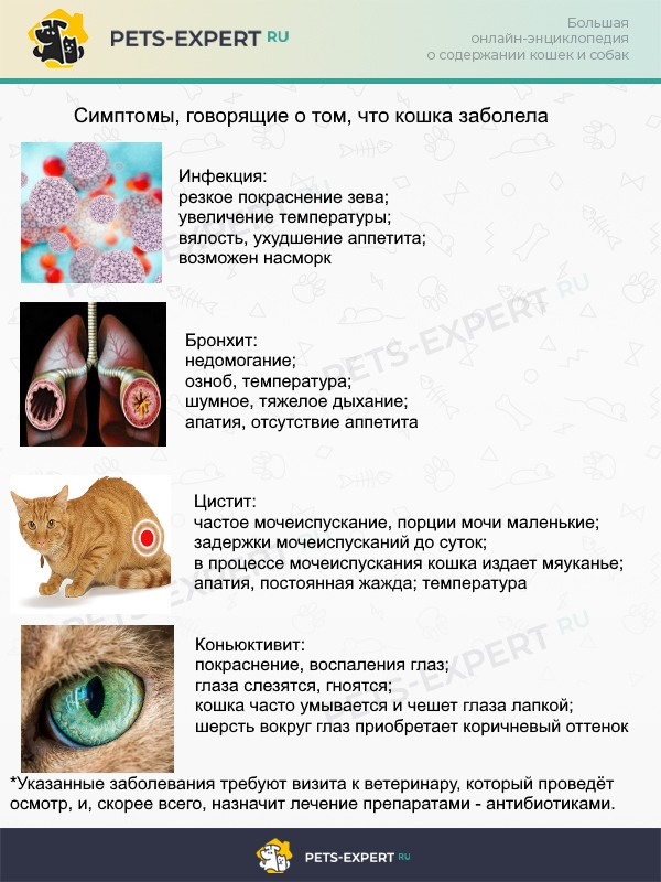 Симптоматика наиболее частых инфекционных недугов у кошек