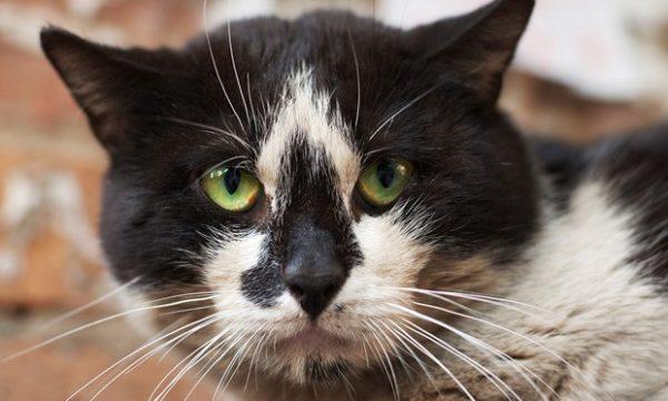 При атаксии кошкам сложно фокусировать взгляд на одном предмете