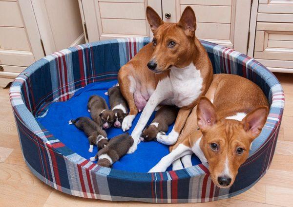 Пара басенджи и их щенки