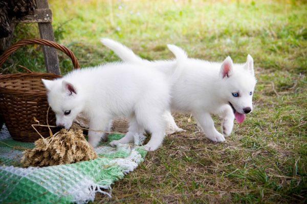Окрас белоснежных щенков с возрастом не меняется