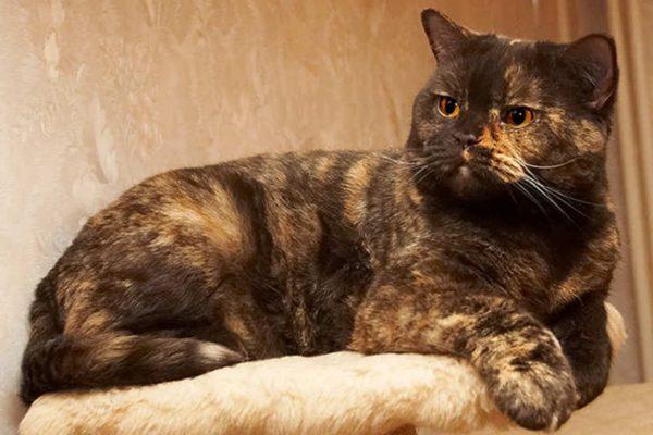 Черепаховая британская кошка