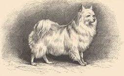 Внешний вид померанских собачек времён 17-го века
