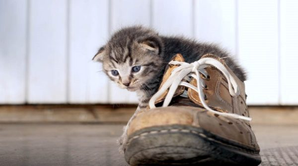 Каждая вторая домашняя кошка заражена паразитами