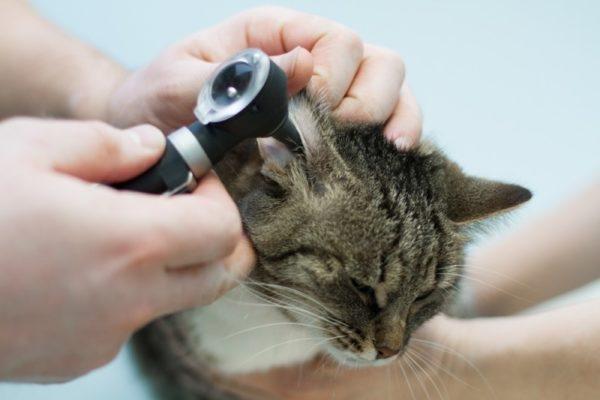 Невылеченный гнойный отит может вызвать атаксию у кошки