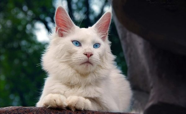 Роскошный голубоглазый мейн-кун
