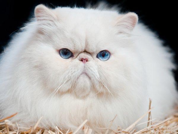 Серьёзный голубоглазый персидский кот