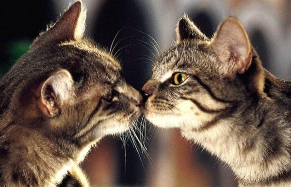 Антисекс для кошек