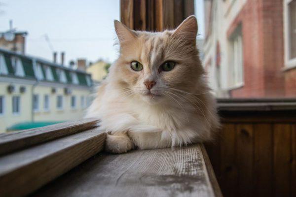 Открытый доступ на балкон – смертельная опасность для кошки