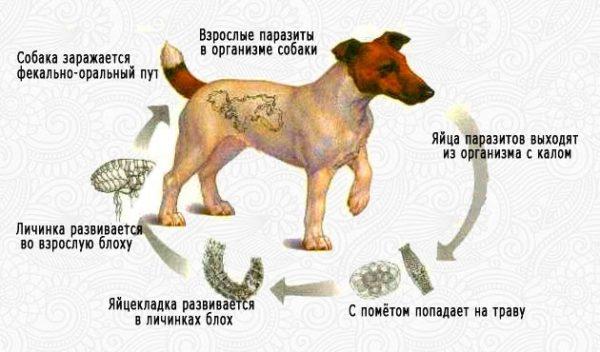 Схема заражения собак гельминтами