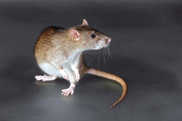 Мыши и крысы способны переносить вирус герпесного типа