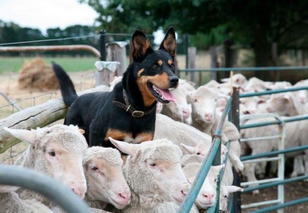 Пастушьи собаки – в группе риска по заражению гельминтами