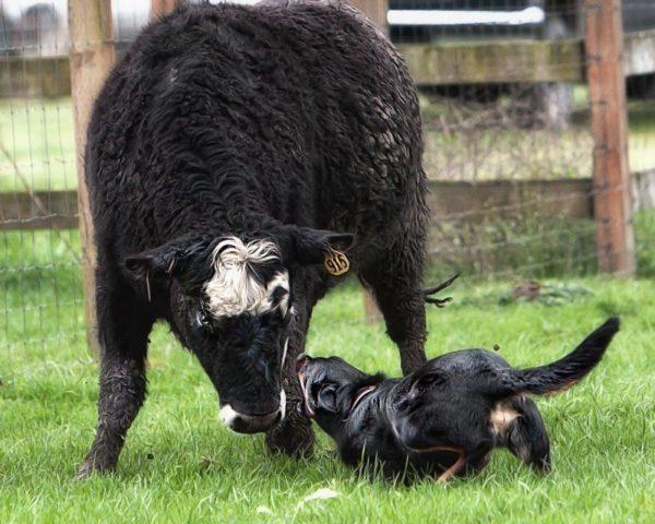Иногда келпи доверяют не только овец, но и крупный скот