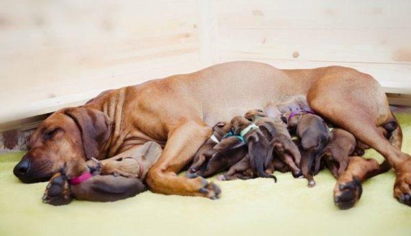 Чем кормить собаку после родов?