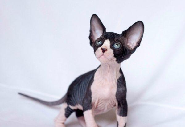 Биколорный котенок канадского сфинкса