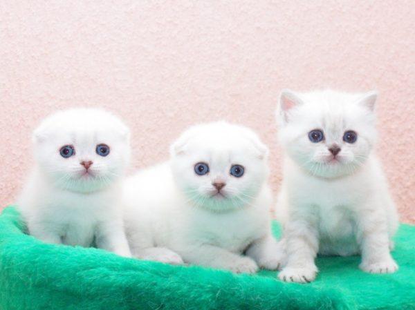 Шотландские котята «белый солид»