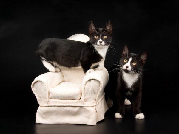 Короткошерстные котята породы манчкин