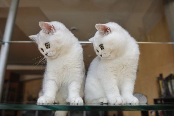 Британские котята со светло-голубыми и зелеными глазами