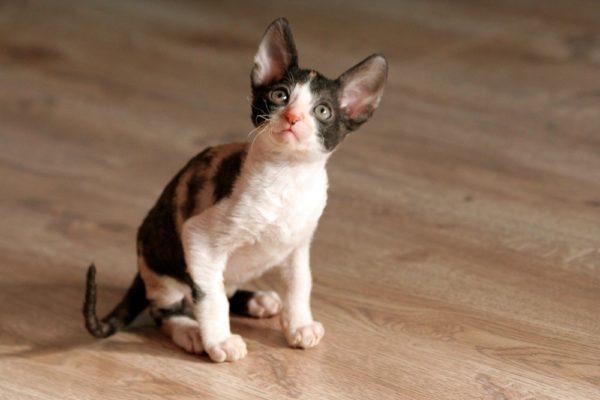 Трёхцветный котёнок корниш-рекса