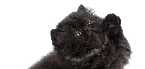 Персидский котёнок с серо-зелёными глазами