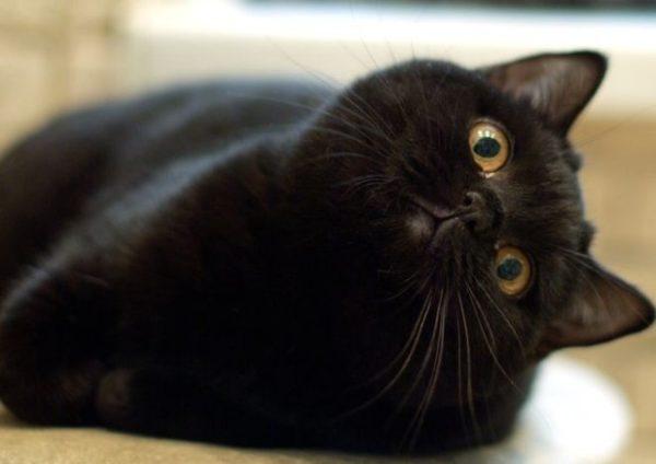 Чтобы кот не страдал от лишнего веса, размер порции нужно регулировать