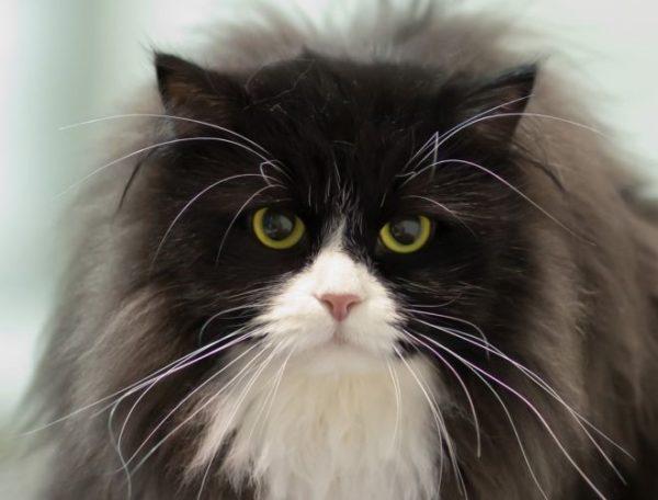 Сибирский кот, окрас «биколор»