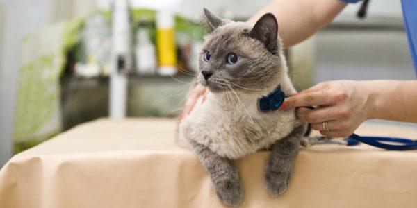 Лечить кошачью астму подручными средствами нецелесообразно