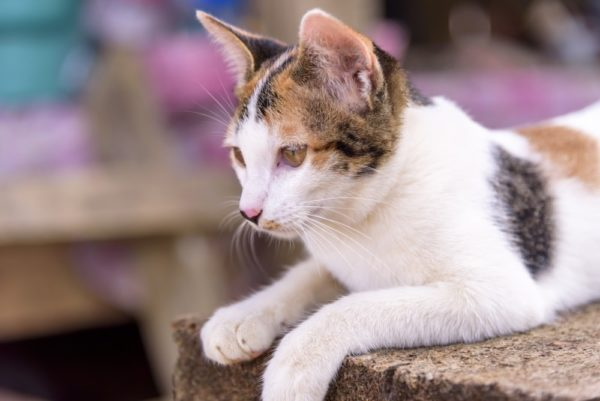 Трёхцветных кошек особенно почитают моряки